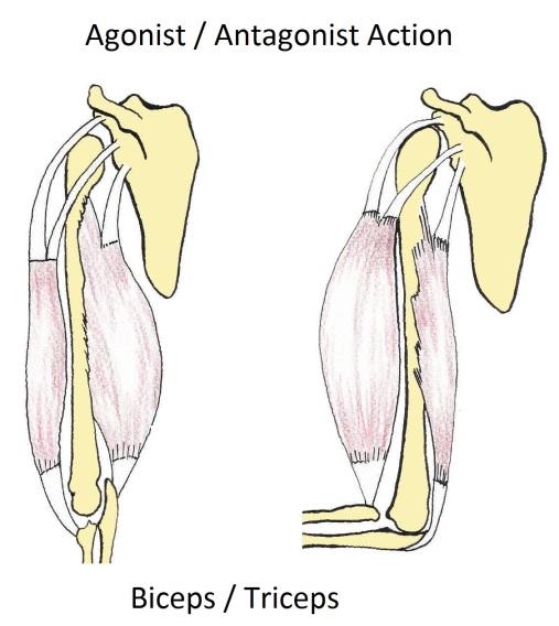 Agonist_en_antagonist